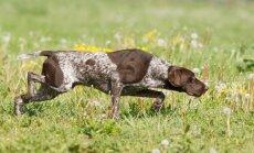 Desmit labākie medību suņi pasaulē