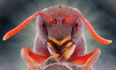 Biedējošais skaistums: mušu, bišu, lapseņu un skudru sejas tuvplānā