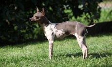 ASV atzītas divas jaunas suņu šķirnes