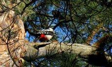 Foto: Dabas mošanās Durbes pils parkā Tukumā