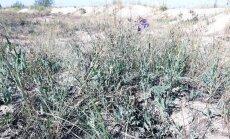 Tatārijas salāts – invazīva suga, kas apdraud Latvijas bioloģisko daudzveidību
