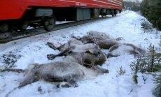 Dažu dienu laikā Norvēģijā vilcieni notriekuši vairāk nekā 100 ziemeļbriežu