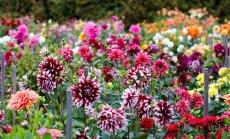 Kas darāms dārzā un pagalmā līdz 27. augustam