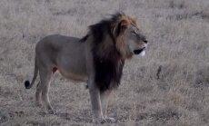 Lauvas Sesila nogalināšana izraisa dusmu izvirdumu pret zobārstu Palmeru