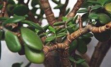 Interesantākās šķirnes un kopšanas padomi naudas koku saimniekiem