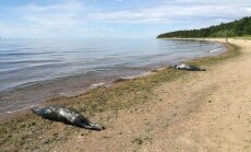 Foto: Saulkrastu pludmalē izskaloti miruši roņi