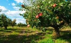 Latvijā pieaugusi ābeļu komercdārzu stādījumu platība; populārākā šķirne – 'Auksis'