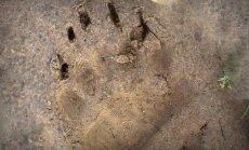 Netālu no Plakanciema manīts lāča pēdas nospiedums; aicina būt piesardzīgiem
