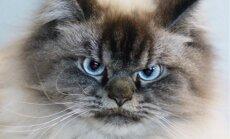 Šo kaķi nepārsteigsi – milzis Merlins ar allaž skeptisko skatienu