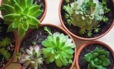Ilgdzīvotāji kaktusi un sukulenti – padomu izlase augu kopšanai