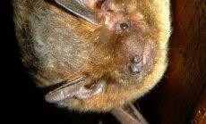 Papē atklās pasaulē pirmo migrējošo sikspārņu murdu
