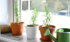 Svaigi zaļumi arī ziemā – priekšnoteikumi vitamīnu audzēšanai aukstajā sezonā