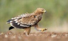 Latvijā pirmo reizi vizuāli novērots karaliskais ērglis