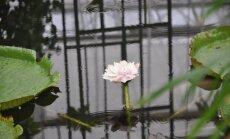 Foto: Botāniskajā dārzā uzziedējis dabas brīnums – Krusa viktorija; augu piemeklē ķibele