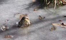 Aligatori ar degunu laužas cauri ledum, lai pārciestu spelgoni ASV un elpotu