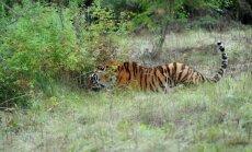 Путинский тигр Кузя съел пять кур в китайской деревне