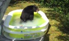 Video: Savvaļas lācis ASV nolemj paplunčāties piemājas baseinā