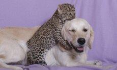 Viens mazulis miris – kā šobrīd klājas leopardam, par kuru rūpes uzņēmās suņu mamma Tesija