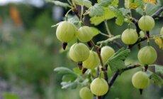 Latvijai bīstami tuvu atklāts nebijis kaitēklis - punktspārnu augļu muša
