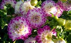 salaspils botāniskais dārzs, dālijas