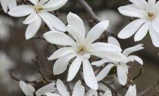 Foto: Skaistā magnoliju ziedēšana Rīgā
