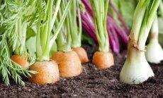 Sakņu dārza nevēlamās viešņas: dārzeņu kaitēkļi un to ierobežošana