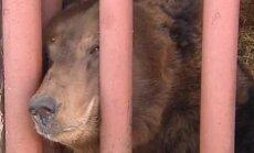 Kā lācis kļuva par mājdzīvnieku Ragaciema ģimenē