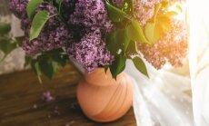 Maija skaistums vāzē – ceriņi. Padomi, kas ļaus ilgāk saglabāt ziedu svaigumu