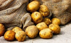 Vēlu atnākušais aukstums kartupeļu uzglabāšanu neietekmē