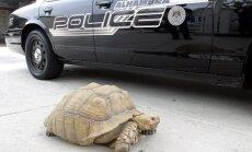 ASV policija pēc pakaļdzīšanās aizturējusi lielu bruņurupuci