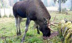 Mežaparkā manīts alnis; apmeklētājus aicina uzmanīties