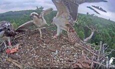 Video no zivjērgļu ligzdas: mazulis atkal ieķeras tēvam kājā