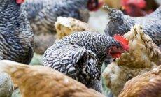 Jaunpils pagastā no būriem nozagtas 20 vistas