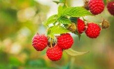 Ароматная малина: польза вкусной ягоды и лучшие рецепты для гурманов