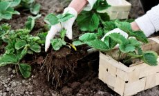 Pavasarī vai vasarā – kad vislabāk stādīt zemenes