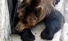 Veselības problēmu dēļ iemidzināts Rīgas zoodārza lācis Bargais