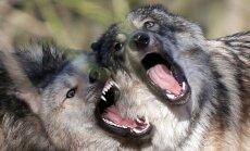 Somijā izšauta piektā daļa vilku