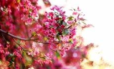 Augļu dārzs kā pasakā: paradīzes ābeļu šķirņu saraksts