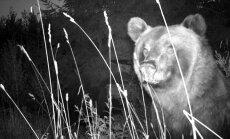 Mālpils novadā kādas mājas ik nakti apciemo lācis un posta bišu dravu (+FOTO)