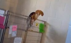Video: Apķērīgs patversmes suns cenšas izbēgt no voljera un tiek pieķerts