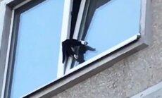 Video: Ugunsdzēsēji Zolitūdē glābj pusatvērtā logā iesprūdušu kaķēnu