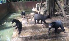 Skaudri kadri: Izkāmējuši lāči Indonēzijas zoodārzā diedelē ēdienu