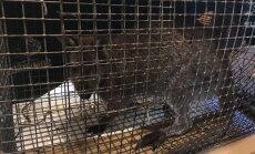 Video: Spelgonī izmukušais Iecavas ķengurs nogādāts siltumā