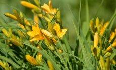 Neiznīcināmās dienziedes: vai uz ziemu augs jārok laukā?