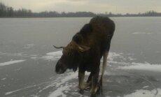 Ugunsdzēsēji izglābj Rožkalnu pagasta ezera ledū ielūzušu alni