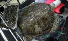 Miris bruņurupucis, kura vēderā atrada 915 norītas monētas