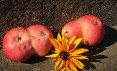 Foto: Divgalvaini āboli un gigantiski gurķi – 'Delfi' lasītāji dižojas ar neparastām rudens veltēm