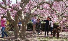 Foto: Vašingtona slīkst rozā ziedos  –  sācies ķiršu ziedēšanas laiks