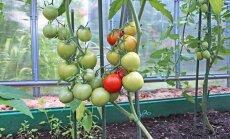 Bagātīgai ražai siltumnīcā: padomu ābece tomātu audzēšanā