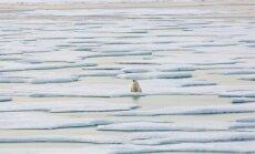 Smeldzīgs skats: vientuļa polārlācene uz ledus